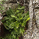 Big frond of Blechnum tabulare.